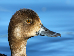Lesser scaup (pamfromcalgary) Tags: birds bird waterfowl lesserscaup bridlewoodwetlands pamhawkes nature