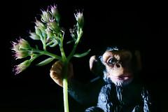 The flowers I have kept especially for you :-) (Gudzwi) Tags: birthday happybirthday7dwf geburtstag 7dwf ctt 7dwfcrazytuesdaytheme crazytuesdaytheme flowers affe monkey blumen sidelit seitenlicht macro makro macroorcloseup spielzeugfigur spielzeug figure toyfigure toy smalltoys animaltoy hbd7dwf