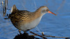 Water Rail (image 1 of 3) (Full Moon Images) Tags: kings dyke wildlife nature reserve cambridgeshire bird water rail