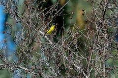 2017 Lesser Goldfinch 3 (DrLensCap) Tags: temecula california lesser goldfinch ca bird robert kramer