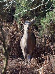 24.02.2018 Arne (2) (Kotatsu Neko 808) Tags: arne dorset england uk spb rspbarne birds deer sikadeer sika