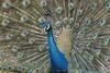 Dancing Peacock (My Pixel Magic) Tags: peacock indianpeafowl malebirtd dancingbird bird birdphotography naturebeauty colorfulbird feathercolor beautifulbird wildlife wildlifephotography