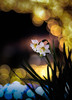 flowers blooming in the river of light (Tomo M) Tags: bokeh light illumination winter narcissus night bright dof