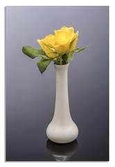Yellow Rose. (johnhjic) Tags: johnhjic nikon nikond850 d850 flower flowers flash water blu white red yellow studio broncolor siros s800 rose roses