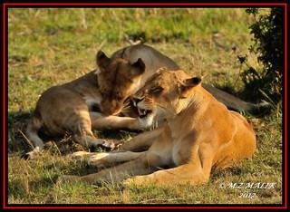 FEMALE LIONESS (Panthera leo)....MASAI MARA......SEPT 2017