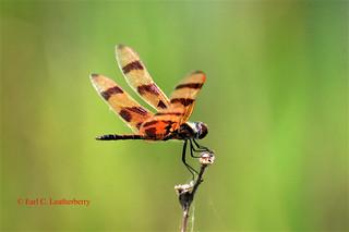 Dragonfly: Halloween Pennant, Florida, Palm Beach County, Arthur R. Marshall Loxahatchee National Wildlife Refuge
