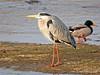 Garza real (Ardea cinerea) (45) (eb3alfmiguel) Tags: aves zancudas ciconiiformes ardeidae garza real ardea cinerea