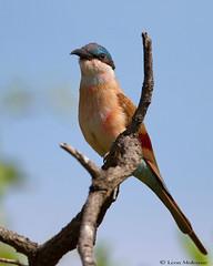 Juvenile Southern Carmine Bee-eater (leendert3) Tags: leonmolenaar wildlife southafrica nature krugernationalpark birds southerncarminebeeeater ngc