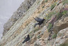 Chough (D R Swift) Tags: chough crow southstack holyhead northwales anglesey