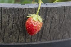 Semi Wild Strawberry (adamopal) Tags: canon canon7d canon7dmkii canon7dmarkii wildstrawberry wild strawberry tinystrawberry tiny walkabout random macro100mm 100mm green brown tan black red yellow