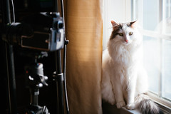 Chip (Garen M.) Tags: nikond850 cat chip windowlight nikkor2470mmf28