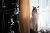 Chip (Garen M.) Tags: nikond850 cat chip windowlight nikkor2470mmf28