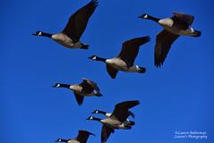 On the move (lauren3838 photography) Tags: lauren3838photography laurensphotography wildlife waterfowl atlanticocean jerseyshore newjersey nj nature ilovenature flight birds nikon d750 geese audubon