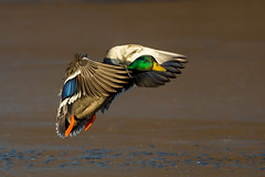 Mallard (Simon Stobart) Tags: mallard male anas platyrhynchos flying langing sunshine northeast england lake ice frozen naturethroughthelens ngc npc