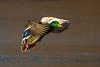 Mallard (Simon Stobart) Tags: mallard male anas platyrhynchos flying langing sunshine northeast england lake ice frozen naturethroughthelens