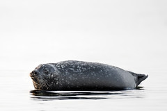 Harbor Seal ( Phoca vitulina ). (Kristian Ohlsson) Tags: skåre nikonkrille winter sweden nature seal seals wildlife