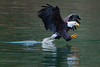 Adult Bald Eagle Closing In (Rusty Turnbuckle) Tags: baldeagle skagitriver water feathers pacificnorthwest
