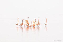 Flamingo's in the mist! (karindebruin) Tags: nederland thenetherlands zuidholland grevelingen battenoord flamingos goereeoverflakkee mist fog