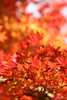 IMG_4451 (jumppoint5) Tags: autumn red yellow blur bokeh shukkeien colours hiroshima japan