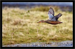 SHOVELLER { duck } (PHOTOGRAPHY STARTS WITH P.H.) Tags: shoveller duck nikon bowling green marsh devon d500