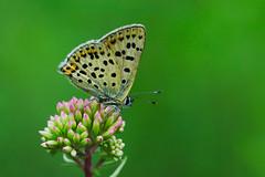 Lycaena tityrus (10) (JoseDelgar) Tags: insecto mariposa lycaenatityrus 425874288735056 josedelgar naturethroughthelens coth coth5 alittlebeauty ngc npc