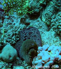 Muräne.jpg (fotossindgeil) Tags: meer rotes ägypten muräne schnorcheln tauchen