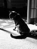 Wondering Why Dinner is so Far Away, grayscale (sjrankin) Tags: 22january2018 edited animal cat argent floor upstairs shadow waterbowl carpet heater yubari hokkaido japan grayscale