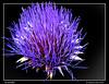 es una flor (wuploteg1) Tags: alcachofa alcauicín alcauicin boltaña boltana sobrarbe altoaragón altoaragon pirineos pyrenees huesca aragón aragon spain