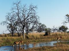 20170722-084002-00286Bco (hugoholunder) Tags: afrika botswana okovangodelta löwe