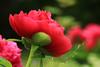 I didn't forget you (preze) Tags: peony paeony paeoniaceae paeonia päonien pfingstrose flower blume blossom blüte blütenblatt blüttenblätter petals rosa pink grün green flora