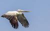 IMG_4083 (RRJOIS) Tags: pelican birdfeeding birdphotogrpahy rangantittu ranganthittubirdsanctuary birdflight canonphotography indianphotographers