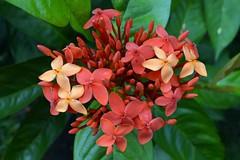 WOL Calauan Laguna Philippines Day 1 (117) (Beadmanhere) Tags: philippines flowers