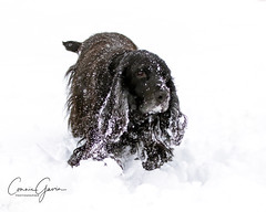 5/52 - Sammy 2018 (conniegavin12) Tags: 52weeksfordogs fieldspaniel spaniel dog pet snow winter