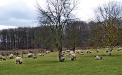 Schafe haben so etwas beruhigendes (mama knipst!) Tags: schaf sheep lamm lamb tier animal weide baum tree eifel februar