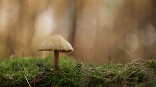 February Fungi - Hypholoma Fasciculare