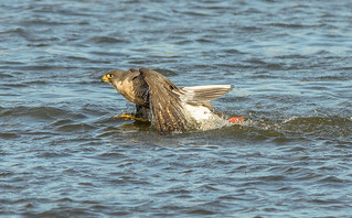 JWL3867  Peregrine Falcon...