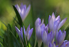 Spring Is Coming Closer (AnyMotion) Tags: crocus krokus blossom blüte 2018 floral flowers frankfurt garden garten plants anymotion winter hiver invierno colours colors farben purple lila 7d canoneos7dmarkii makroaufnahmen ngc npc