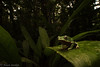 Little Giant (antonsrkn) Tags: phyllomedusa bicolor giant giantmonkeyfrog wildlife animal nature frog amphibian herpetology herp herping jungle colombia amazon dark dim treefrog southamerica shadows flash habitat wild amazonas