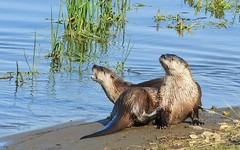 Some river otters went to the beach! (Ruby 2417) Tags: river otter wildlife animal mammal lagoon seashore dunes coast nature