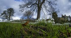 Snowdrops (zubzubadoodle) Tags: ks1 samyang 8mm fisheye snowdrops mountgracepriory