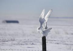 20180221-IMG_5593 Snowy Owl (grammiev) Tags: owl snowyowl winter alberta snow flight takeoff wings white fence buboscandiacus malesarealmostallwhite yelloweyed blackbeakedwhitebird heavilyfeatheredtalonedfeet