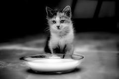kitten 2 (obyda) Tags: kitten kittens cat cats animals blackwhite bnw black blackandwhite fineart lifestyle milk white