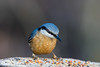 Nuthatch (kevinclarke1969) Tags: rufford nottinghamshire