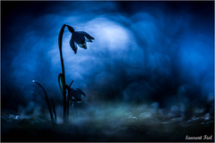 Blue night (laurent fiol) Tags: macro proxi proxy fleur flower bleu blue night nuit nature natur