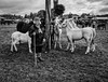 My little ponies (Gerrykerr) Tags: ngc monochrome festivals miscellaneous street portraits horsefairs ireland ballinasloe
