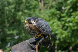 Faucon pelerin / peregrine  Falcon