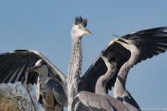 Prendre sous ses Ailes.... (Elyane11) Tags: héron juvénile discussion nid ombre pontdegau oiseaux regard bec
