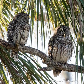 Barred Owl Pair at Circle B