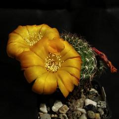 Sulcorebutia arenacea var. kamiensis HS191a 513' (Pequenos Electrodomésticos) Tags: cactus cacto flower flor sulcorebutia sulcorebutiaarenaceakamiensis