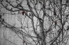 """Virginia Creeper"" (helmet13) Tags: leicaxvario flora virginiacreeper parthenocissusquinquefolia wall winter texture branches aoi peaceaward world100f 200faves"